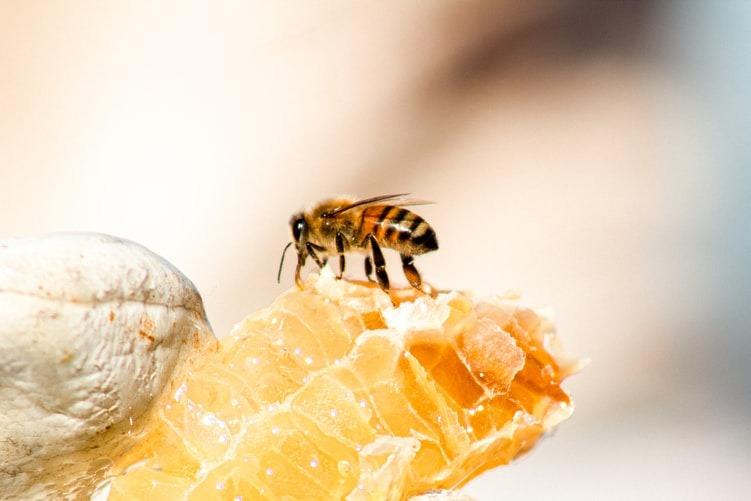 honeybee sucking nectar from a broken honeycomb. by cool calm design lab, unsplash