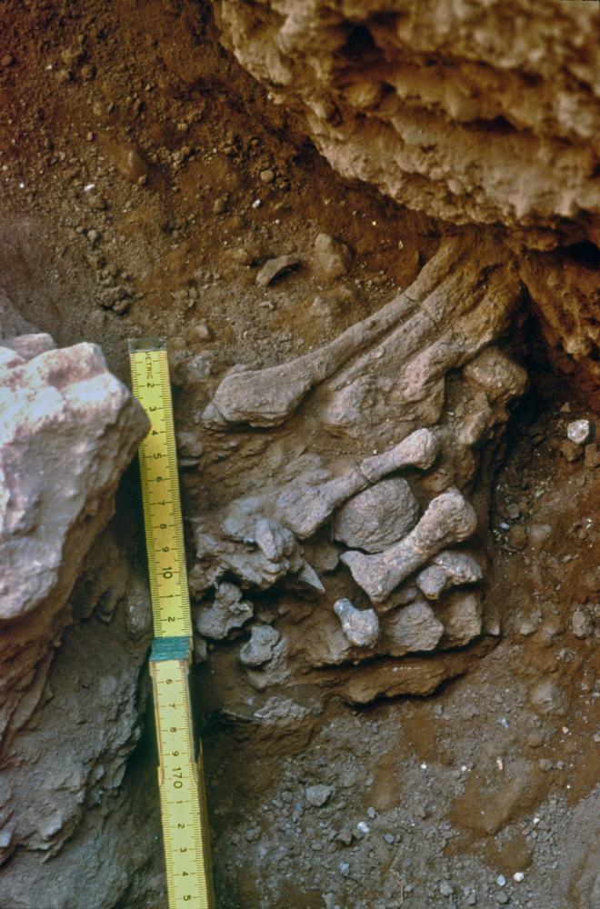 עצמות הרגל של 'עמוד 9' במערת עמוד. פרופ' אראלה חוברס