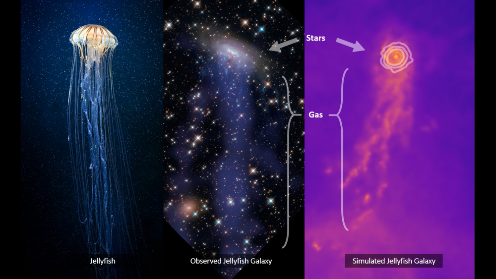 Jellyfish Galaxies. התמונה באדיבות דר אלעד זינגר ו-Kiyun Yun - סטודנט לדוקטורט בקבוצת המחקר בגרמניה