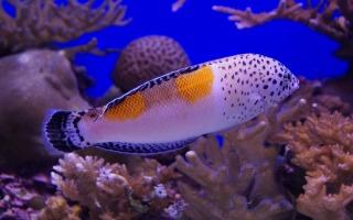 דג בשונית האלמוגים באילת
