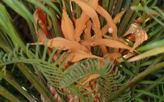 הצמח Cycas_thorasa, ציקס הגדל בגן הבוטני. צילום - דר' אורי פרגמן-ספיר, הגן הבוטני