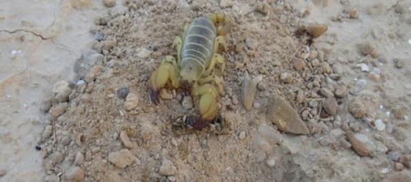 טחבן המדבר. צילום באדיבות פרופ' דרור הבלנה