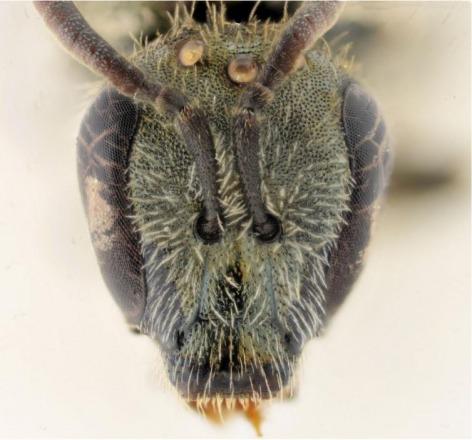 Belgian Journal of Entomology, Alain Pauly